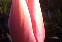 Tulipany / Moje