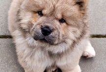 Chow Chow I love you