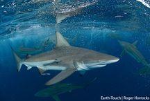 ΚΑΡΧΑΡΙΕΣ / Οι καρχαρίες είναι ψάρια που ανήκουν στην υπέρταξη σελαχίμορφα. Οι καρχαρίες και τα μικρότερα συγγενικά τους σκυλόψαρα, γαλέοι κ.ά. έχουν ομοιογένεια μορφολογική και λειτουργική.Οι καρχαρίες έχουν διαφοροποιηθεί σε περίπου 440 είδη με μέγεθος από 20 εκατοστά μέχρι 15 μέτρα (φαλαινοκαρχαρίας).  Πολλά γνωστά είδη όπως ο λευκός καρχαρίας, ο καρχαρίας τίγρης, ο γλαυκοκαρχαρίας, ο καρχαρίας μάκο και ο σφυροκέφαλος είναι κορυφαίοι κυνηγοί.  Βικιπαίδεια