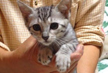 "My Kitty Egyptian Mau / My cat ""CoCo"" was born in Nov.6, 2012 and she is so cute kitty Egyptioan Mau ;-))"