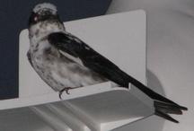 Purple Martin plumages