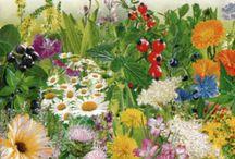 bylinky pre zdravie / pestovanie a využívanie byliniek