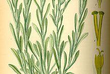 Helichrysum - Immortelle