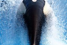 Orcinus Orca / My love of Orca's, how they shouldn't be in captivity.
