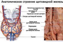 Строение человека, органов