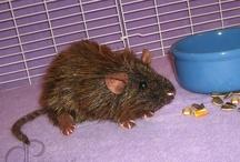 Rattie Friends