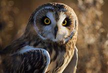 ANIMAL • Owl