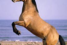 Steigerend paard bruin