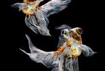 Goldfish memory/memories and Koi friends