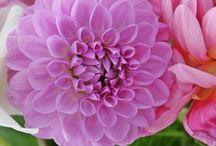 Kukat / Tänne on kerätty kukka-aiheisia kuvia.