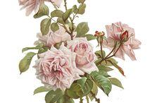 Rosor / Bara rosor