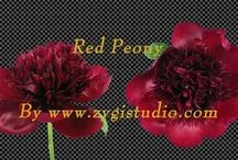 Peonia Video Clips / Time-lapse video clips of growing, opening, rotating and dying peonia flowers