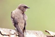 Birds-Apodidae-True Swifts / The 100 species of true swifts and swiftlets, grouped into two subfamilies and four tribes.