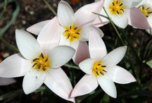 Tryon Palace Blooms / The buds and blooms of Tryon Palace's 16 acres of historic gardens.