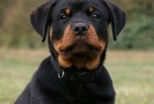 rottweiler puppies / by Tina D'Arco
