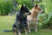 blue heelers / by Maryjane Minnaert