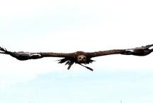 Roofvogels * Birds of Prey