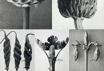 Karl Blossfeldt (1865-1932) botanical photographer