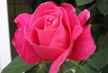 Rose Garden's