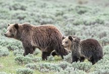 Save the Yellowstone Grizzly / Stopping the Delisting and Trophy Hunt of the Yellowstone Grizzly.