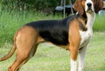 Finsk støver / FInnish hound / Everything I can get my hands on about this breed :)