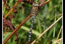 Dragonflies / by Rosalinda Ybarra