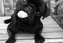 Pug Puppis