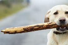 Service Dog - Seizure Response / Anxiety / Service Dog - Seizure Response / Anxiety