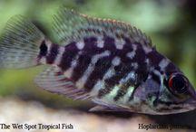 Cichlids / Just Fish
