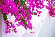 Greece Santorini bougainvillea