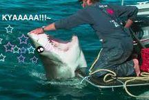 Tsundere Sharks / /r/TsundereSharks