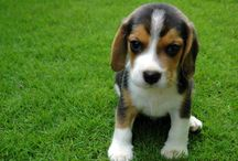 My Beautiful Beagle / My photogenic puppy, Binky the Beagle
