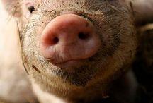 Cerdos y cochinitos