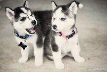 Want a Husky!