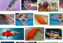 Penyakit Ikan Koi dan Cara Mengatsinya