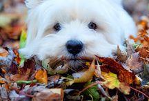 West hieghland white terrier