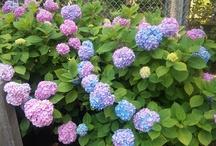 Season for hydrangea / Please enjoy the variety of hydrangea