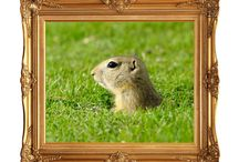 Gopher Gallery! / Gopher Pictures, Meerkat Pictures, Gopher portraits, Critter Pictures etc.