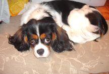 animals / My dog Mandy a cavalier king charles spaniel