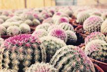 Cactus / Cactus, Plant, garden