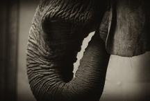 RJMiller Photography - Pachyderms / Buy prints @ www.ralphjmiller.smugmug.com    ©ralphjmiller / by Ralph Miller