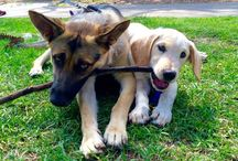 Steven Cox Instagram Photos Our German Shepherd always makes new friends when we go out for a walk. #monday #germanshepherd #dogs #puppies #cute