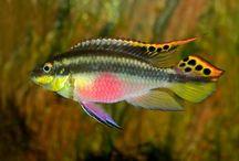 Pelvicachromis_pulcher  Kribensis