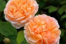 размножение роз