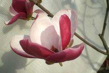 Magnolia / La nostra collezione di Magnolie  Our Magnolia's collection