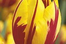 tulip (lalele)