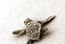Caretta Caretta / Some interesting facts about the Loggerhead (Caretta Caretta) sea turtle