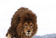 Lions / Such a beautiful and strong animal.