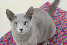 Cat Russian Blue