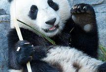 Pandas / by Betty Chung-Hoon Townsend